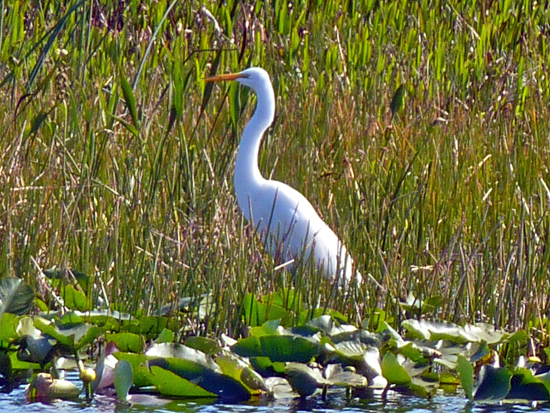 A Great Egret stalks fish in the waters of Wakodahatchee Preserve